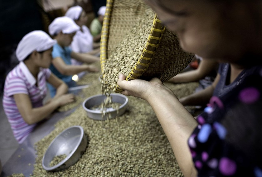 workers_sort_through_green_robusta_coffee_beans_HDEH