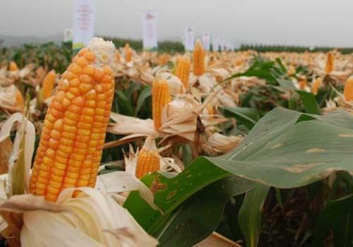 corn_ETGI