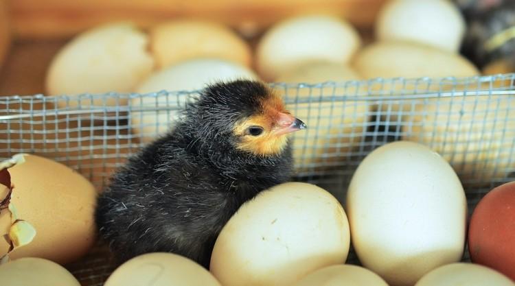 chicks-1280732_1280-750x417